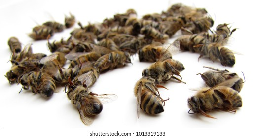 Dead honey bees, found outside the hive over the winter,  Close up on a white background. Some bees have their proboscis extended.
