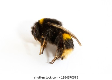 Dead Honey Bumble Bee on White Background Close Up
