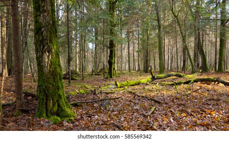 Dead hornbeam lying moss wrapped among deciduous trees in autumn,Bialowieza Forest,Poland,Europe