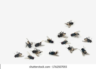 Dead house flies on white background