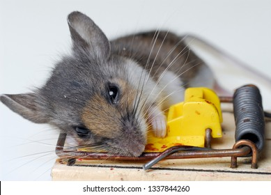 Dead house mouse caught in a mousetrap