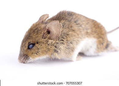 Dead house mouse on a white background