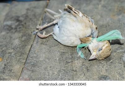 dead innocent baya weaver birds cause of plastic pollution