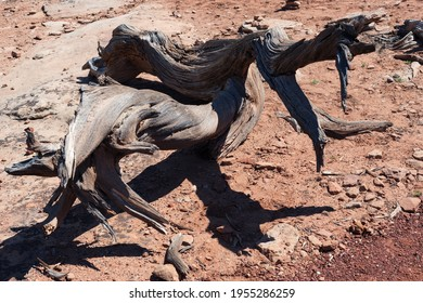 Dead juniper on red sandstone in the Colorado National Monument.