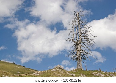 Dead larch on lonely ridge