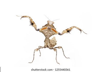 Dead leaf mantis Deroplatys lobata at agressive pose isolated on white background