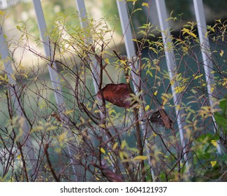 A dead leaf stuck on the branch of  Spiraea thunbergii.