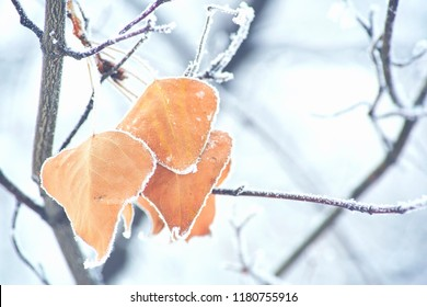 Dead leafs covered by snow. Beautiful branch with orange and yellow dry leaves in late fall or early winter under the snow. First snow, snow flakes fall, close-up.