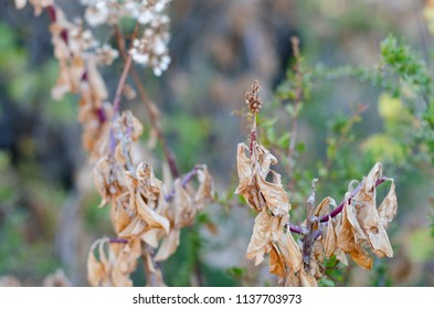 Dead leaves on a bush in autumn, with a green foliage background. The focus on the leaf branch on the right hand side of the frame.