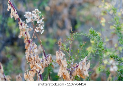 Dead leaves on a bush in autumn, with green foliage in the background. The focus is on the seed about to scatter from the dead branch.