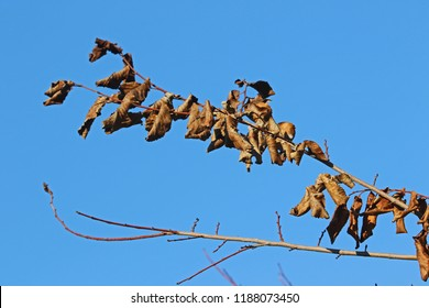 dead leaves on a dying elm tree Latin ulmus or frondibus ulmi suffering from dutch elm disease also called grafiosi del olmo in Italy