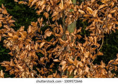 Dead leaves still in the tree, Forest of Compiegne. FRANCE - December 23rd, 2018
