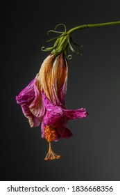 A dead lilac flower, in detail, curved after losing its life and wilting. Details of the nature of a plant very close and lifeless.