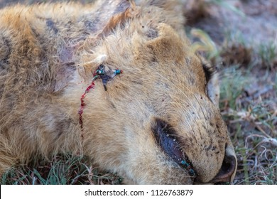 Dead lion, poaching hunting. African Wildlife