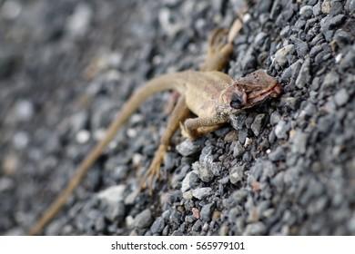 Dead lizard on the ground