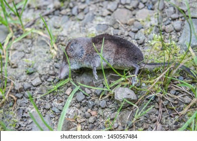 Dead long-tailed shrew (Sorex) on the fores floor