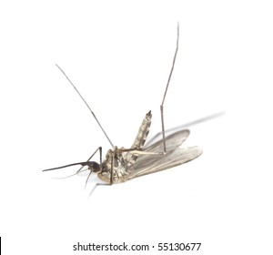 Dead mosquito isolated on white background. Extreme close-up