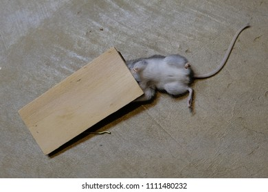 Dead mouse caught in a trap on the floor