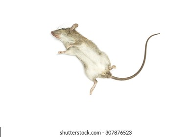 Dead mouse with feet to the sky on white background for die animal concept