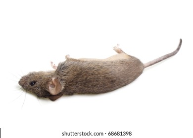 The dead mouse is isolated on a white background