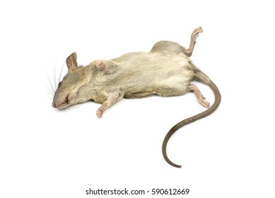 The dead mouse on white background. Rat animal background concept