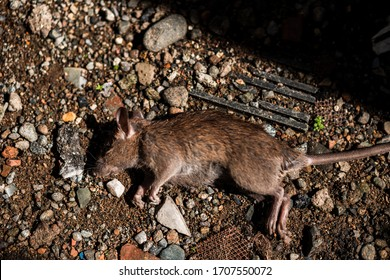 A dead mouse or rat in the yard, it looks like poisoning. These rodents are known  can spread diseases and viruses, including Hantavirus, Bubonic Plague, Salmonellosis, and Rat-Bite Fever.