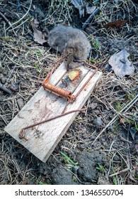 A dead mouse in a trap. Gefangene Maus in einer Mausefalle.