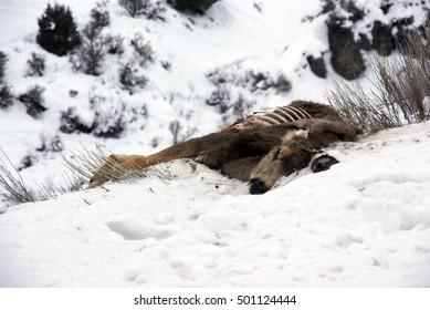 Dead Mule deer eaten by scavengers, Colorado, Rocky Mountains