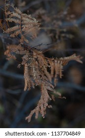 Dead narrow leaves on a branch in winter, with the image background being dark.