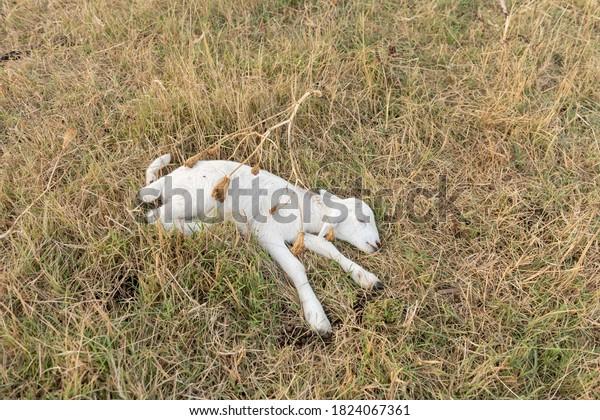 Dead newborn lamb lying on grass