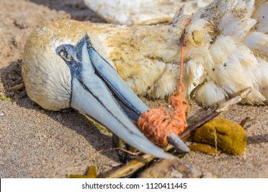 dead northern gannet with plastic fishing net wrapped around its beak, washed ashore on Kijkduin beach The Hague