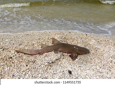 Dead nurse shark killed by toxic algae also known as red tide wash up next to seashells on Fort Myers Beach and other west coast cities in Florida, USA