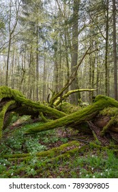 Dead oak lying moss wrapped among deciduous trees in spring,Bialowieza Forest,Poland,Europe
