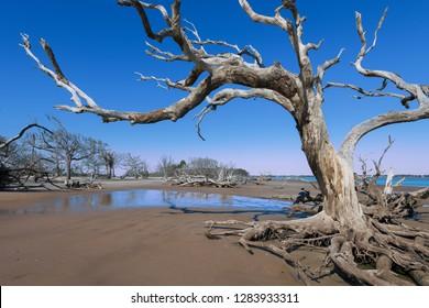 Dead oak trees on Driftwood Beach on Jekyll Island, Georgia