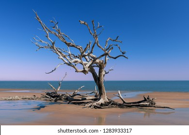 Dead oak trees on Driftwood Beach on Jekyll Island, Georgia