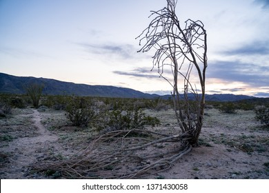 Dead Ocotillo cactus plant lying on the ground at the Ocotillo Patch in Joshua Tree National Park in California at sunset