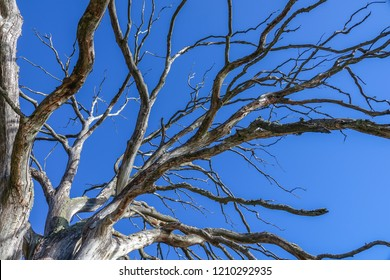 Dead old oak tree without leaves. Blue sky in the background.