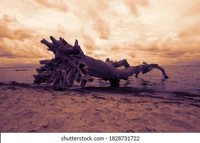 Toter alter Baum am Ostseestrand.