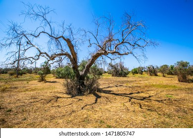 Dead olive trees from xylella fastidiosa