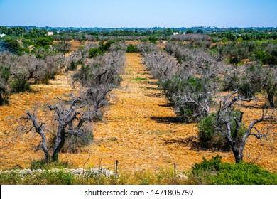Dead olive trees from xylella fastidiosa
