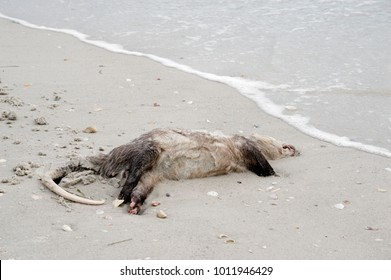 Dead Opossum (Didelphimorphia) washed up on a sandy beach after a storm on the Gulf of Mexico at St. Pete Beach, Florida