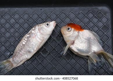 Royalty Free Aquarium Fish Disease Stock Images Photos Vectors