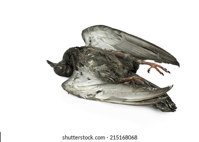 Dead Pigeon on white background