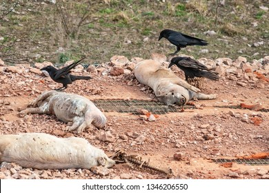 Dead pigs on the platform. Eating place for birds. The ravens eat dead pigs.