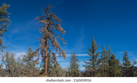 Dead pine tree stands above the vast California forest near the central valley.