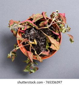 Dead plant in a pot. Fittonia. On a gray background. Flat top view
