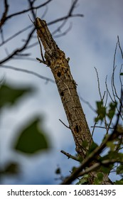 Dead poplar tree with holes made by woodpeckers in protected area, global warming nature damage leads to drying trees. Zlato Pole village, Dimitrovgrad municipality, Haskovo region, Bulgaria, Europe - Shutterstock ID 1608314395