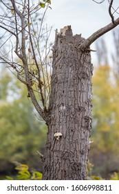 Dead poplar tree neglected in public park protected area, global warming nature damage leads to drying trees. Zlato Pole village area, Dimitrovgrad municipality, Haskovo region, Bulgaria, Europe - Shutterstock ID 1606998811