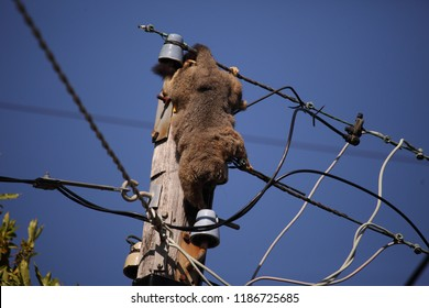 A dead possum electrocuted on power lines