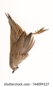 Dead quail killed by flying into a glass window